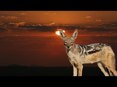 Hunting jackals in Namibia