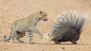 Leopard Takes On And Fights Porcupine