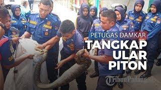Petugas Damkar Kota Padang Evakuasi Dua Ekor Ular di Tempat Berbeda