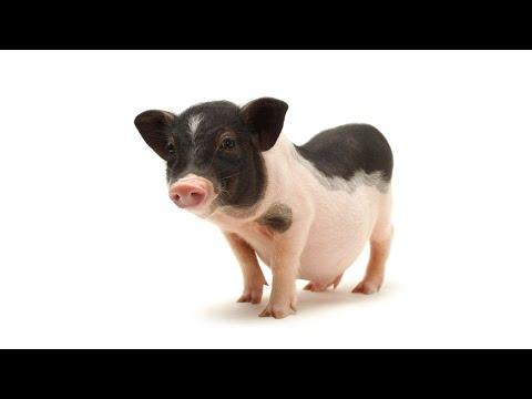, title : 'Myth of Mini Pigs & Micro Pigs   Pet Pigs