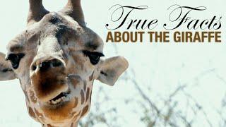 True Facts: The Wacky Giraffe