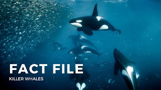 Killer Whale Fact File - Mammals