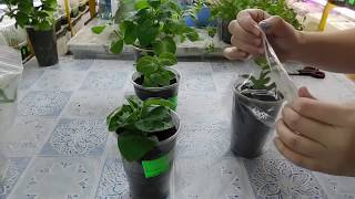 🌹🌹🌹ЛУЧШИЙ СПОСОБ ВЫРАСТИТЬ ПЕТУНИЮ ! Как быстро получить цветущие растения