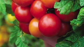 Quick Start Gardening Guide: Determinate vs Indeterminate Tomatoes