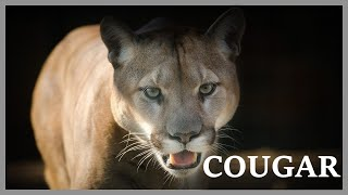 Cougar scream at night. Cougar call / Cougar noise / Cougar sound / Puma sound.