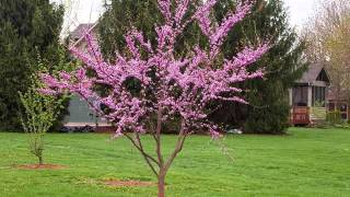 Redbud Tree | Cercis Canadensis