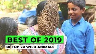 animales Fases principales con animales salvajes a par