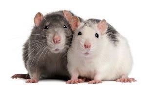 Крысы  Подземный разум  Секретные территории Документальный фильм Рен ТВ