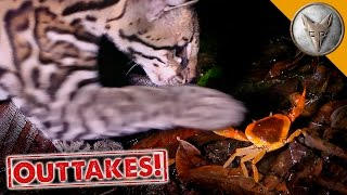 Ocelot vs Crab!