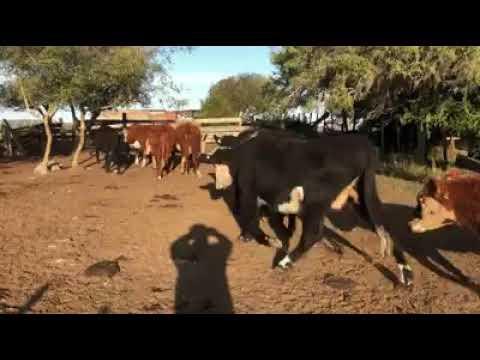 Imagen 26 Vacas de Invernada en Montevideo