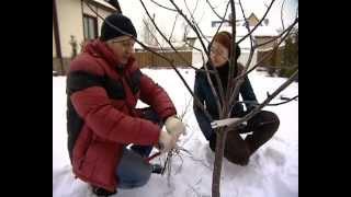 Смотреть онлайн Как правильно обрезать фруктовые деревья ранней весной