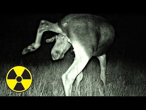 ✅ Что сняла скрытая камера ночью в Припяти Волки напали на нас в Чернобыльской Зоне