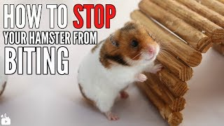 How to STOP your hamster from biting