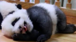 Grey panda cub Cheng Lang- So Sleepy