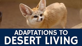 How are Fennec Foxes Adapted to Living in the Desert?