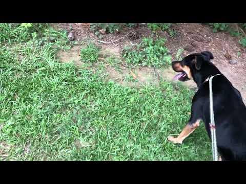HUNTER - see video, an adoptable Coonhound Mix in Marietta, GA