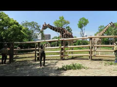 【天王寺動物園】のんびり過ごすキリンとエランドとひと