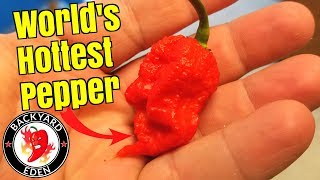 How To Grow Carolina Reaper Peppers From Seeds - Starting seeds