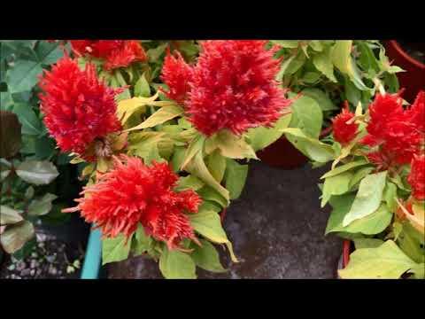 Целозия перистая. Цветы для кашпо. Однолетнее травянистое растение. Семейство амарантовые.
