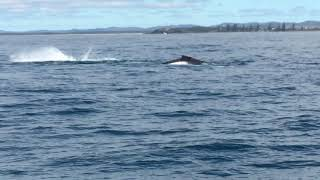 Flipper and Tail Flop, Whale Watching, Yamba