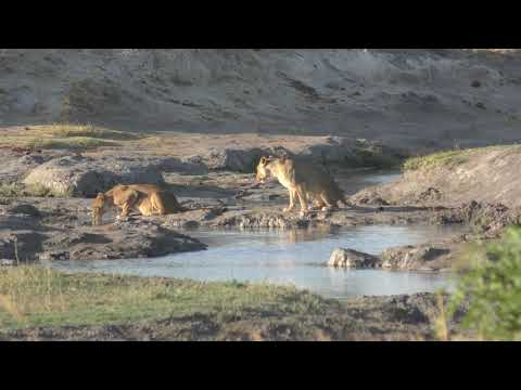 16102019 Hwange NP Big Tom two lioness drinking water