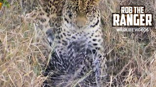 Leopard Takes On A Porcupine! | African Wildlife Action!