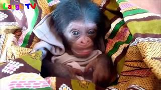 Funny Monkey Compilation 2017 - Funny Monkey Videos (Try not to laugh) - Cute Monkeys / Baby Monkeys