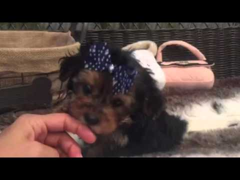 Petite little Morkie, Out to steal your heart!