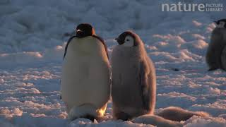 Emperor penguin chick begging for food from parent, Adelie Land, Antarctica