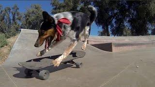 Смотреть онлайн Подборка: Собаки катаются на скейтборде