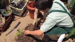フィカスベンガレンシスオムの木が根腐れした場合の処置方法その2
