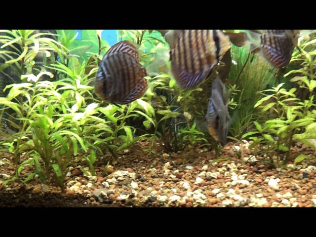 10 Gallon Planted Discus Tank.....