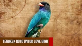 Masteran Tengkek Buto Untuk Love Bird Anakan