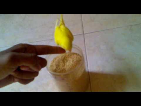 Video Cara Melatih Burung Parkit untuk Pemula