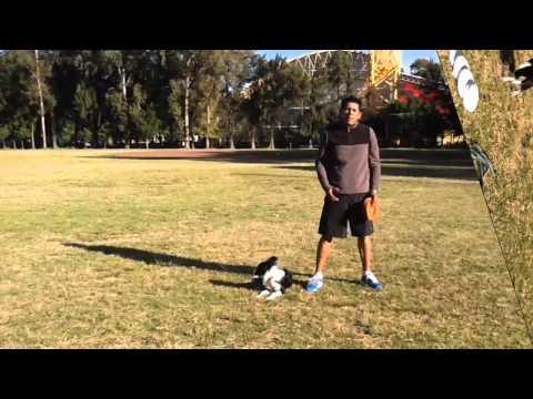 Frisbee (Disc Dog) Cómo enseñar a tu perro a Atrapar el Disco en el Aire
