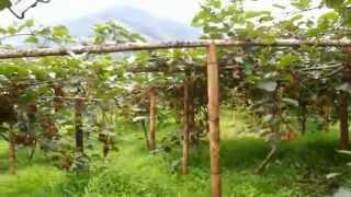 Kiwi Farming in Ilam First Video