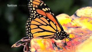 Schmetterlings-Mimikry - ein Supergen macht's möglich