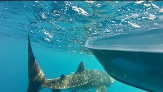 Fergo and Copsa-Part 2 Whale Shark, Cobia and live baiting Kingfish