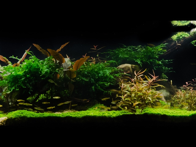 Takashi Amano Tribute Aquascape by James Findley - Pebbles