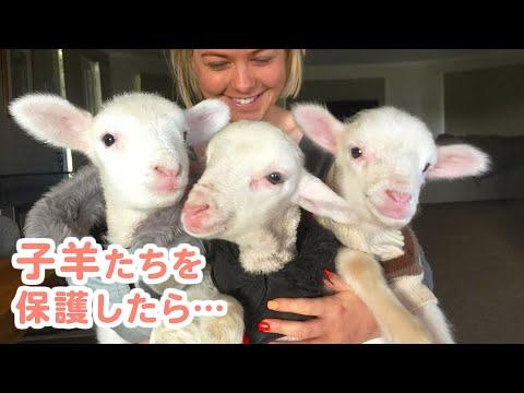 , title : '羊たちの楽園は、今日も優しさが溢れています♡
