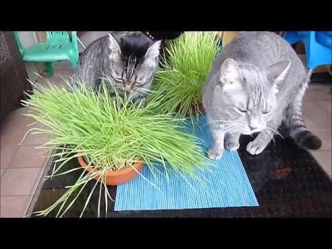 ERBA GATTA e le gatte