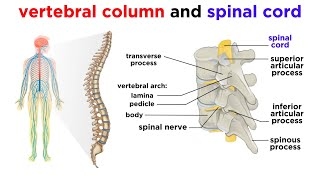 The Central Nervous System: The Brain and Spinal Cord