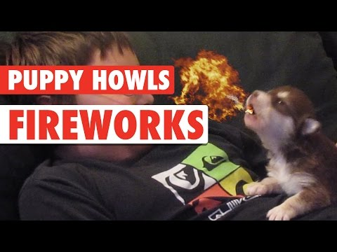 Puppy Howls Fireworks || Happy New Year Puppies