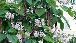 Катальпа - дерево с большими листьями и стручками