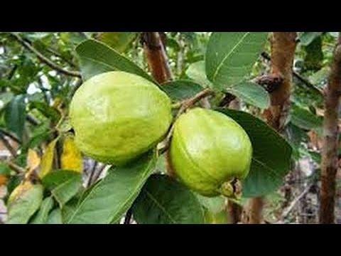 ដំណាំត្របែកអត់គ្រាប់នឹងវិធីដាំអោយបានផ្លែច្រើន Guava planting technique  #Sarakaksekor #សារ៉ាកសិករ