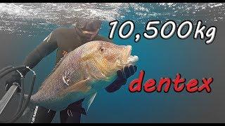 Συναγρίδα 10,500 Kgr - 43m /Huge Dentex 10,500 Kgr - 43m