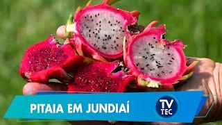 Pitaia ganha espaço de cultivo em Jundiaí