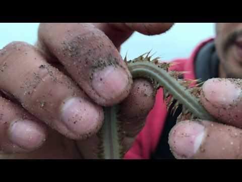 Carnation bilang isang gamot laban sa parasites