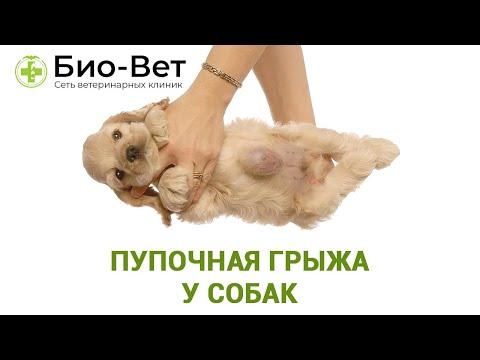 Пупочная Грыжа у Собак - Симптомы и Лечение // Сеть Ветклиник БИО-ВЕТ