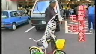 Смотреть онлайн Умный пес катается на велосипеде